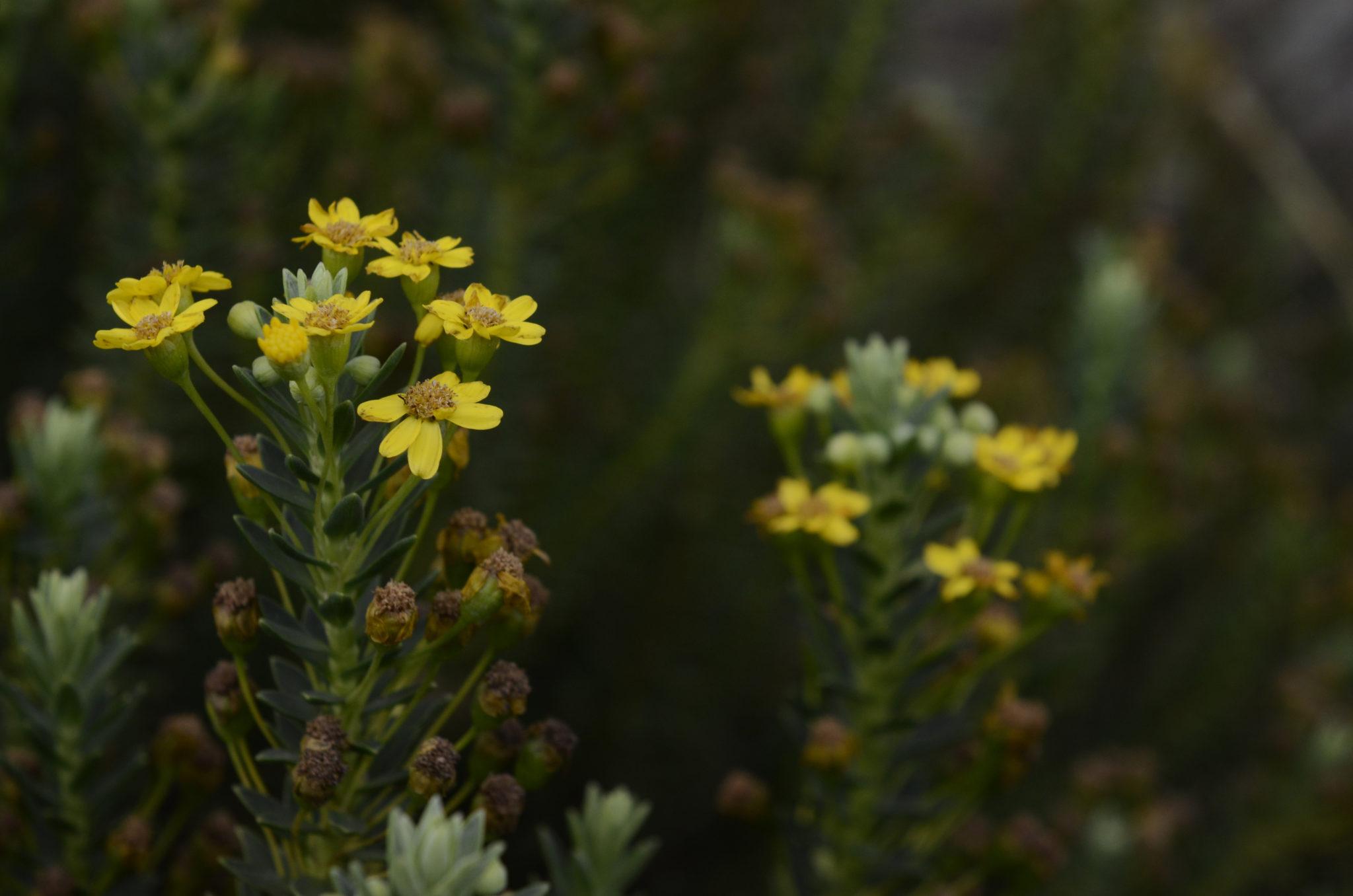 Sani-Pass-flowers