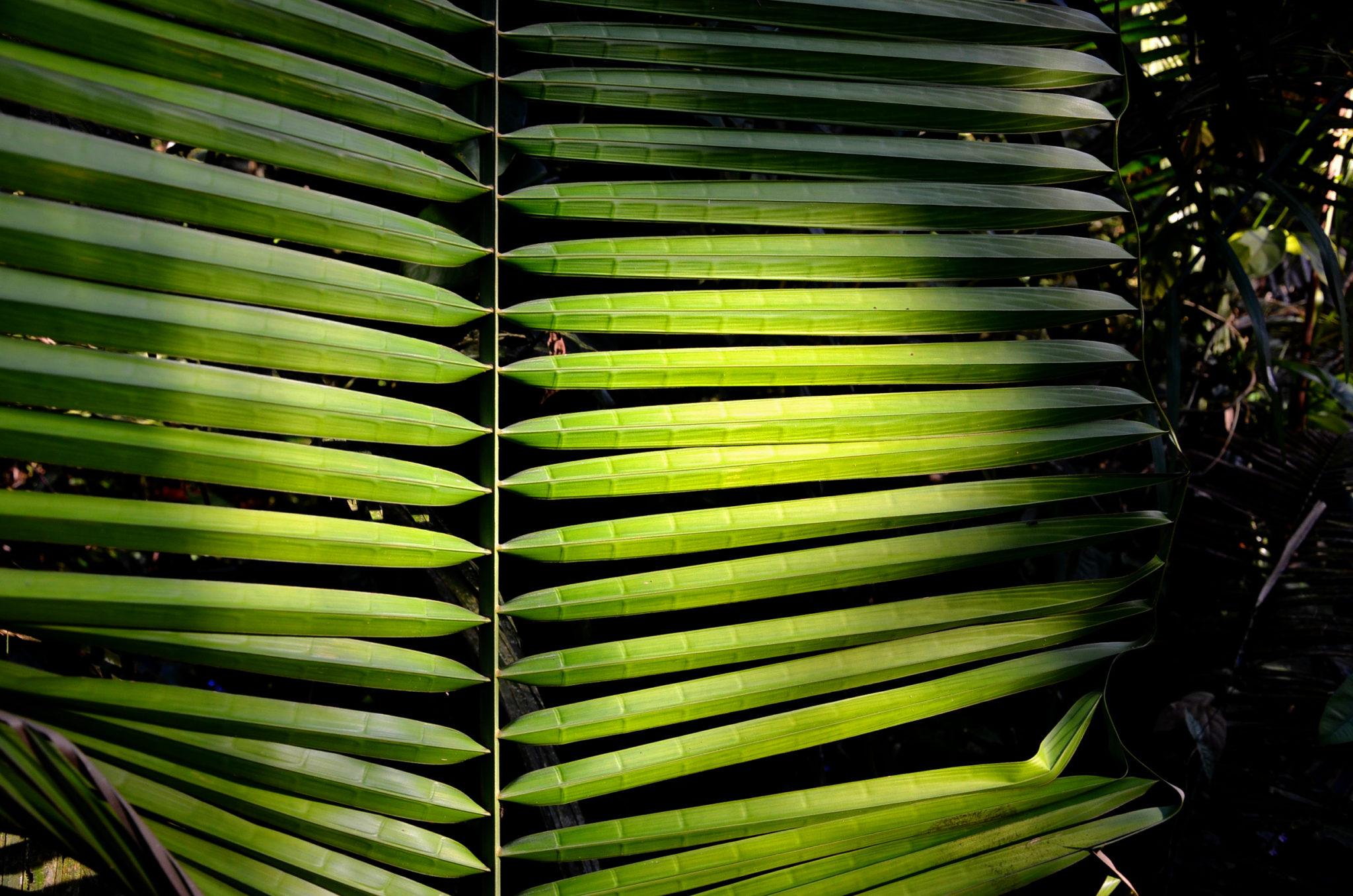 ecuador-piranha-fish-palmtree