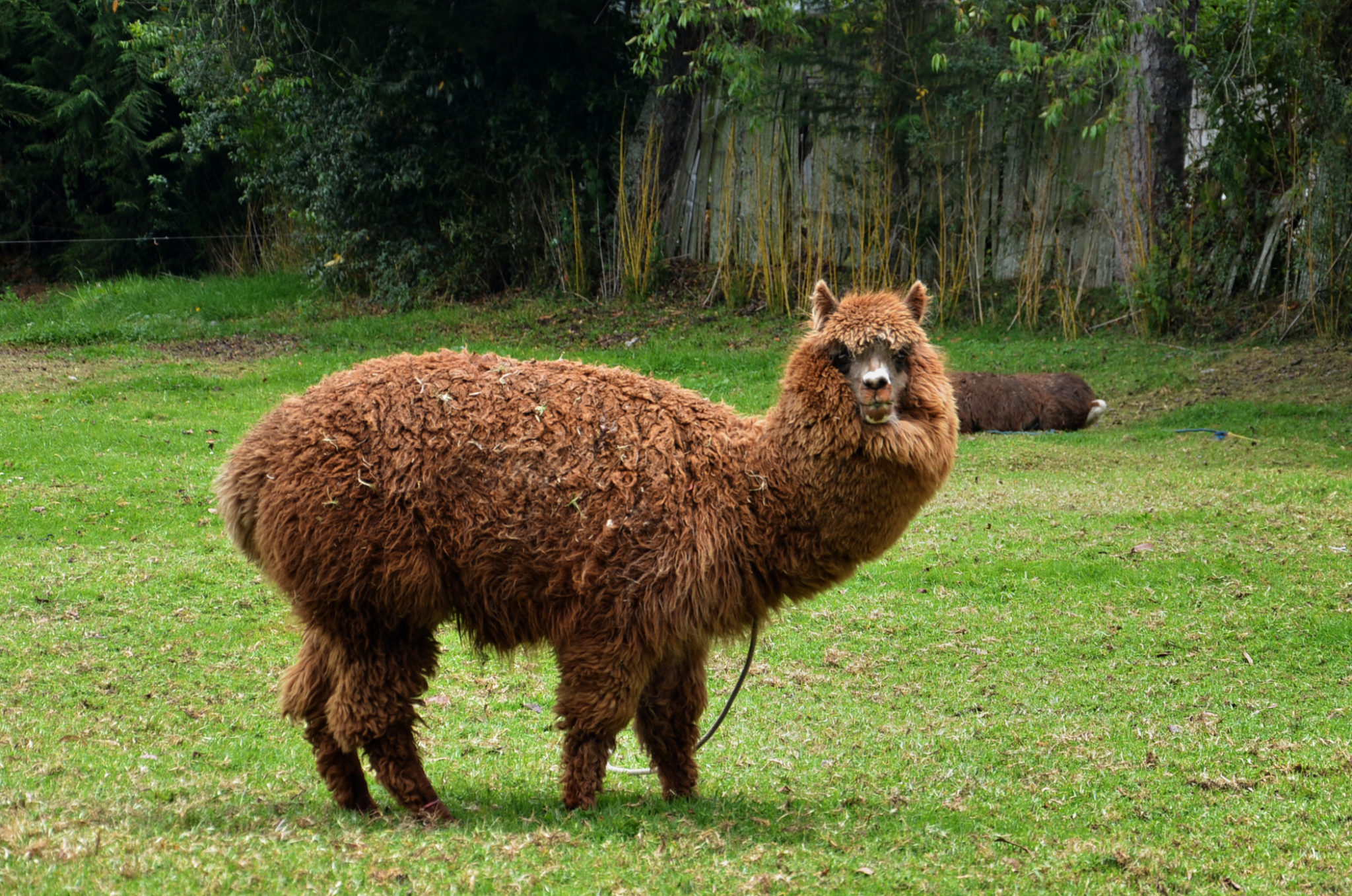 Things-to-see-in-Ecuador-Lama-Alpaka-outside