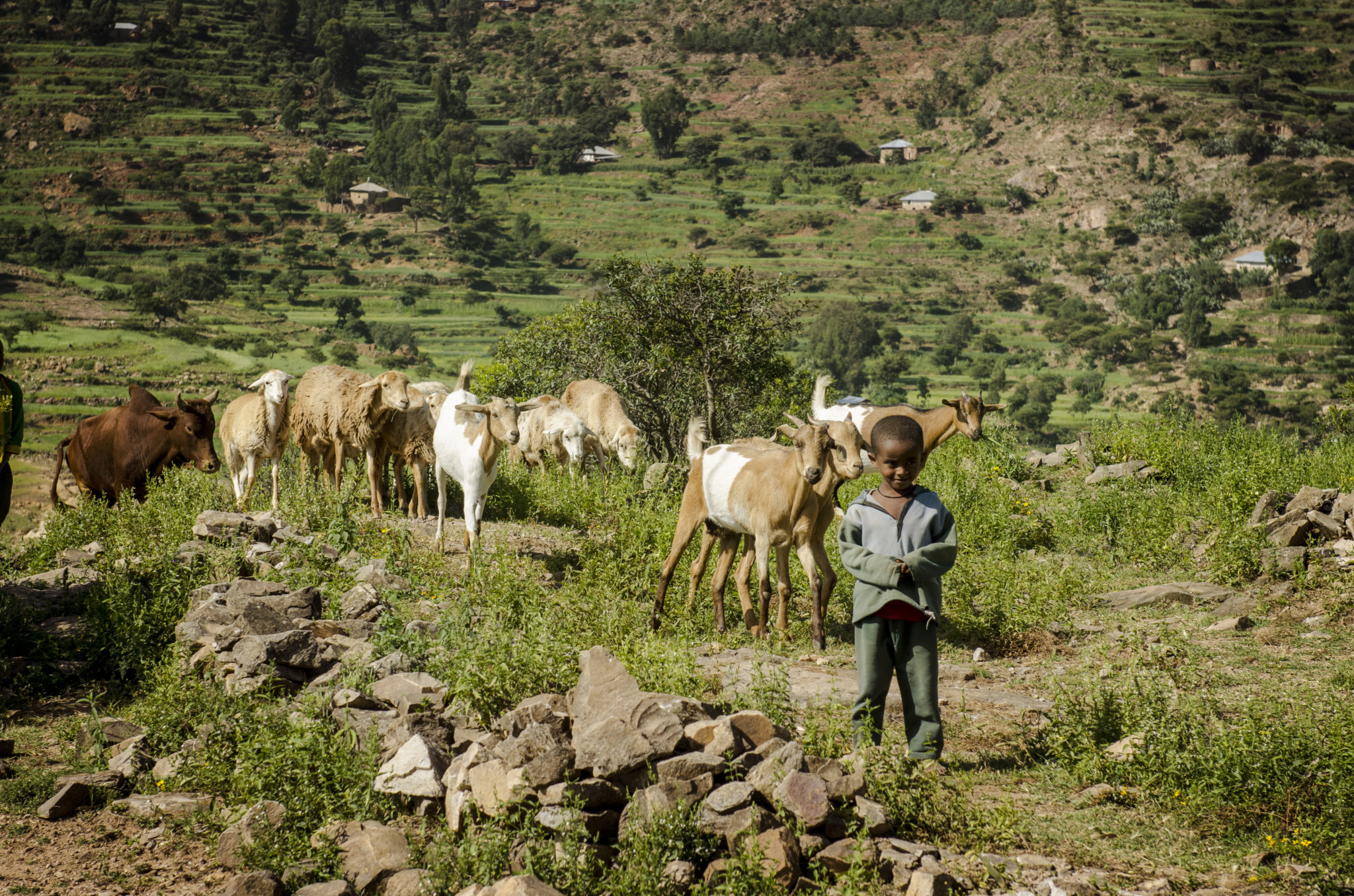 Things-to-do-in-Ethiopia-Goats-Work