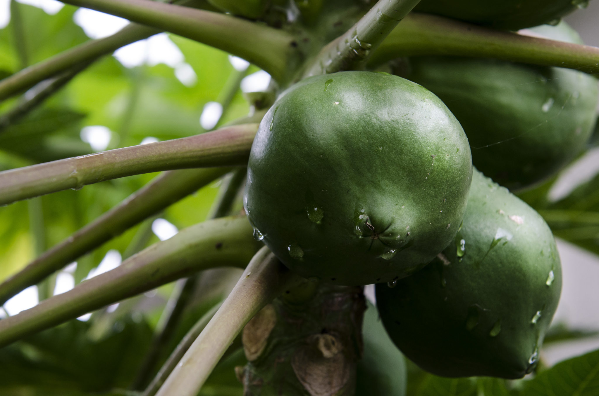 Ishigaki-Island-papaya-tree-japan