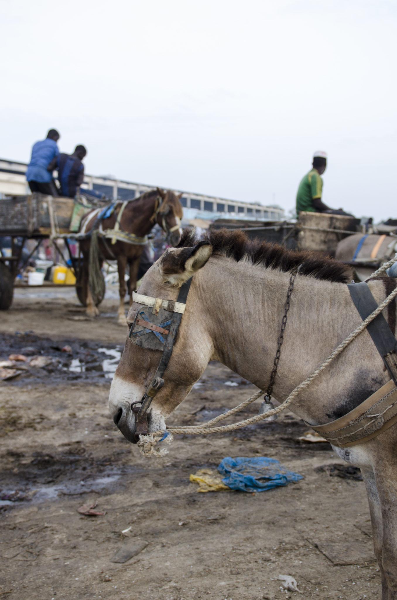 Fish-Market-Mbour-Horse